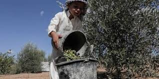 Gazans defy occupation by planting olive trees