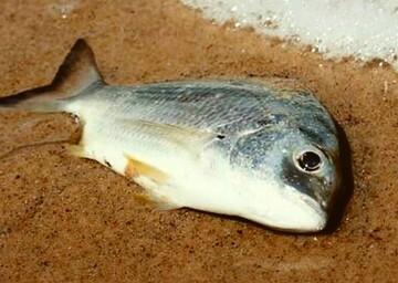 احکام شرعی | حکم ماهی که در آب مرده است