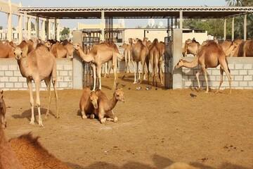 پروانه تاسیس یک واحد موقوفه پرورش شتر در سمنان صادر شد