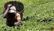 کشت خونین چای در کنیا توسط بریتانیا