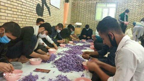 تصاویر| حضور گروه جهادی طلاب کردستان در طرح «جهاد زعفران»