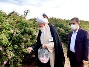 گل چینی از گلستان ۶۰ هکتاری گل محمدی قمصر کاشان آغاز شد