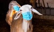 قربانی کا جانور خرید نے سے پہلے صحت کی جانچ کیسے کی جائے؟