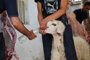 تصاویر/ قربانی ۵۵ راس گوسفند و توزیع میان نیازمندان