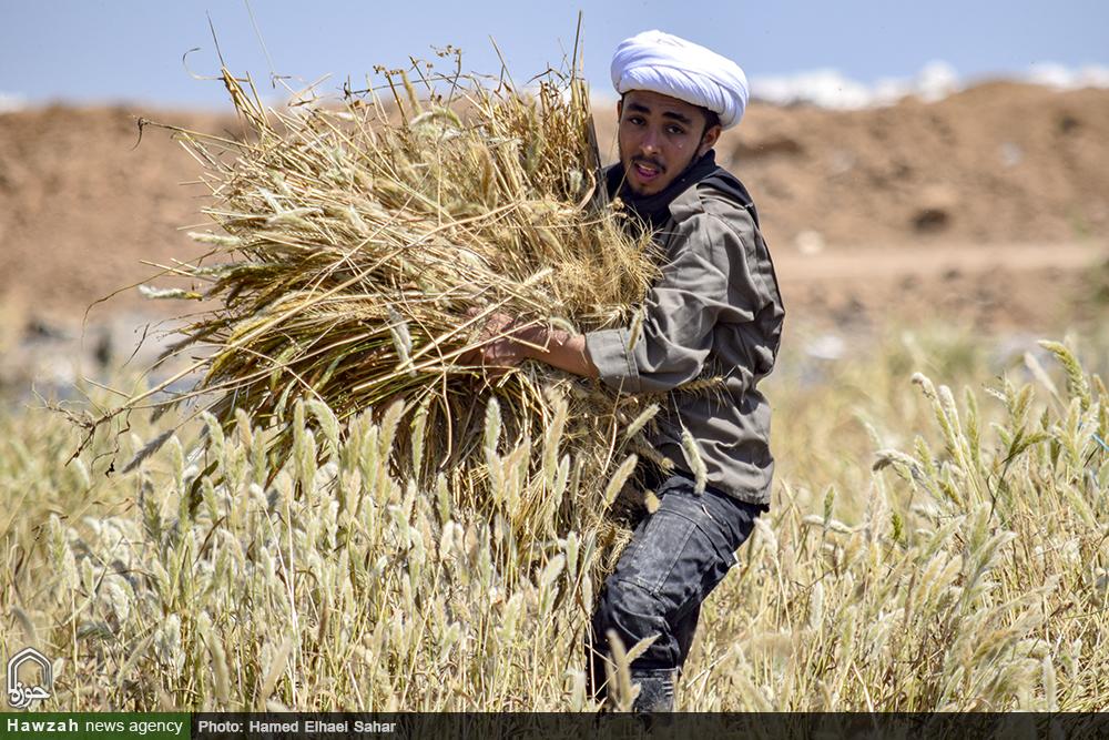 درو کردن مزارع آب گرفته گندم؛ خدمت روحانیون جهادگر به کشاورزان سوسنگرد