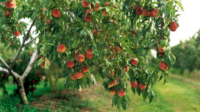 میوه ردرخت
