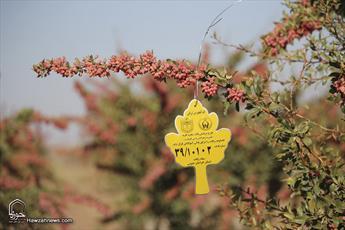 تصاویر پلاک کوبی ۵۵ اصله درخت زرشک و عناب در بیرجند برای فقرا